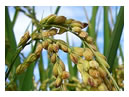 China NATESC Warning against Rice Stem Borer Outbreak s in Southern Regions